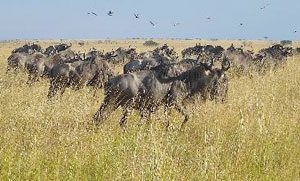 Migratory Herd of Gnu at the Mara
