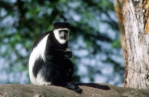The black and white colobus monkey