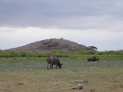 Amboseli Buffalo with Observation Hill Background