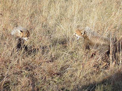 Cheetah Cubs at The Mara