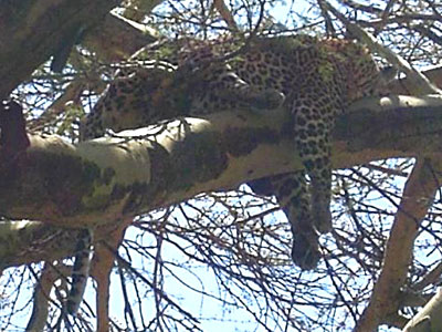 Leopard Relaxing on an Acacia Tree at Lake Nakuru Park